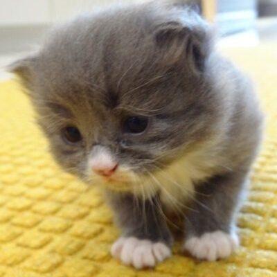 A tiny grey kitten