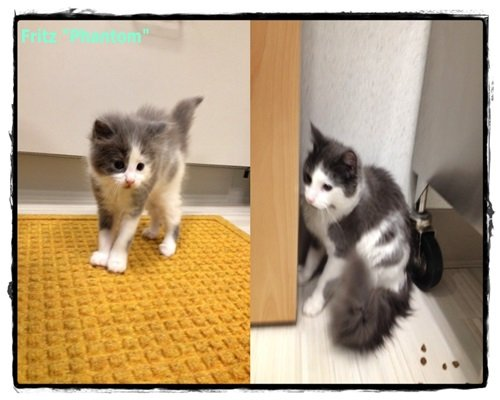 A side by side of a grey and white cat when it was a kitten and an adult