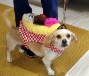 A small tan dog named Reese dressed as a banana split