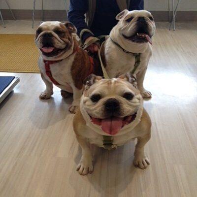 Three english bulldogs sitting like good boys