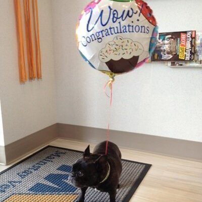 A black french bulldog with a balloon that says Congratulations