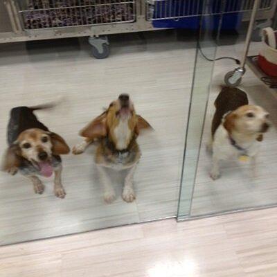 Three black and white Beagles