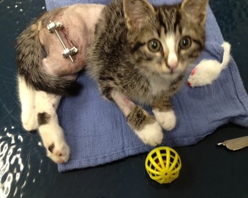 A tiny brown and white kitten who just had surgery on his leg